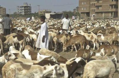 فشل تصدير الماشية.. اجتماع تضارب المصالح مع الإهمال الحكومي