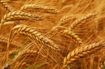نجاح كبير لتجربة زراعة القمح بالمزرعة الايضاحية بمحلية الفاشر