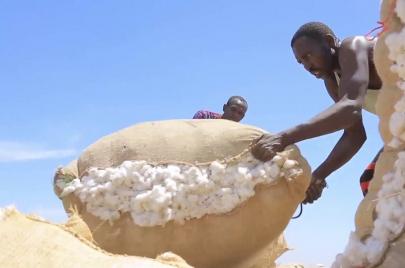 السودان يستعد لحصاد أكثر من مليون فدان من محصول القطن